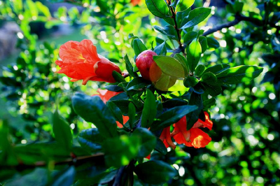pomegranate-tree-with-flowers.jpg