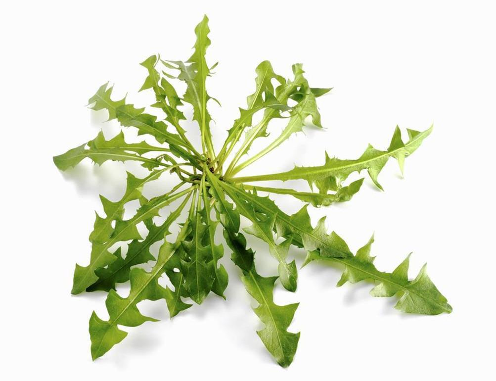 Dandelion root leaf extract